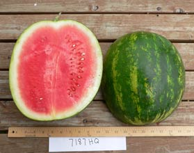 Photo of 7187 HQ watermelon