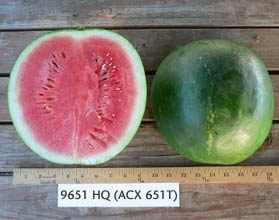 Photo of 9651 HQ (ACX651T) watermelon