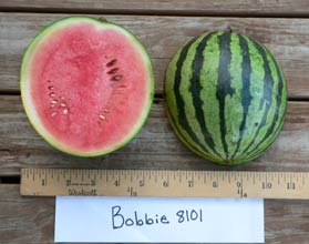 Photo of Bobbie 8101 watermelon