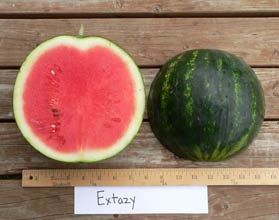 Photo of Extazy (6008) watermelon