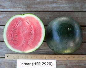 Photo of Lamar (HSR 2920) watermelon