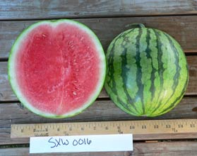 Photo of SXW 0016 watermelon