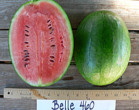 Photo of Belle 460 watermelon