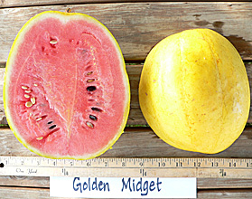 Photo of Golden Midget watermelon
