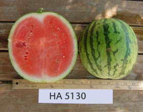 Photo of HA 5130 watermelon
