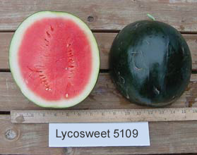 Photo of Lycosweet 5109 watermelon
