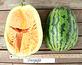 Photo of Orangeglo watermelon