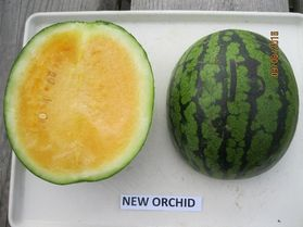 Photo of New Orchid watermelon