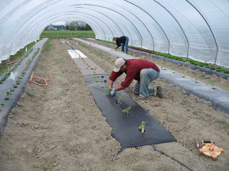 Photos of transplanting tomatoes in biodegradable mulch test plots under high tunnel