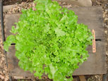 Photo of lettuce Austrian Greenleaf