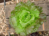 Photo of French Crisp lettuce Cardinale