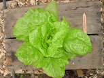 Photo of lettuce De Morges Braun