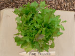 Photo of lettuce Fine Frilled