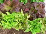 Photo of lettuce Flashy Butter Oak