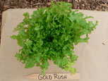 Photo of lettuce Gold Rush