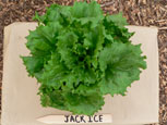 Photo of lettuce Jack Ice