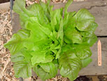 Photo of lettuce Oaky Red Splash