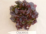 Photo of lettuce Oscarde