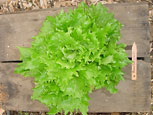 Photo of lettuce Reine Des' glaces