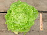 Photo of lettuce Tom Thumb