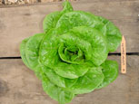 Photo of lettuce Winter Desity