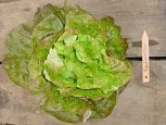 Photo of lettuce Yugoslavian Red