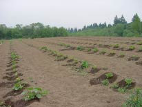 Photo of squash on drip irrigation