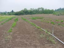 Photo of squash on overhead irrigation