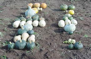 Photo of winter squash yield