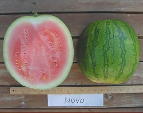 Photo of Nova watermelon