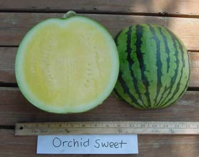 Photo of Orchid Sweet watermelon